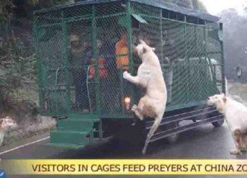 """גן החיות הזה בסין שם אנשים בכלוב ואת החיות """"חופשיות"""" – טיפה של צדק"""
