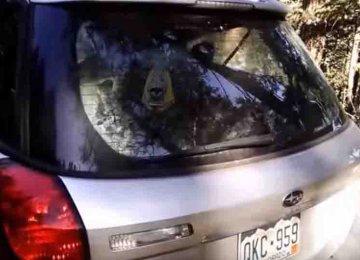 דוב שחור ענקי נעל עצמו בתוך מכונית סובארו – לאף אחד אין מושג איך