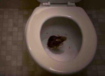 אתם לא תאמינו באיזו קלות חולדה יכולה להיכנס לשירותים שלכם