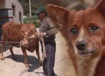 הגור המתוק הזה התחיל לבכות כאשר הבעלים שלו מכר את הפרה שהייתה כמו אימא בשבילו