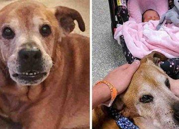 מצמרר – כלב זקן שרד רק כדי לראות את אחותו החדשה ושניות לאחר המפגש הלך לעולמו