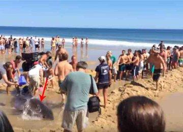 מקסים – כל הרוחצים בים עשו מאמץ אדיר כדי להציל כריש ענקי