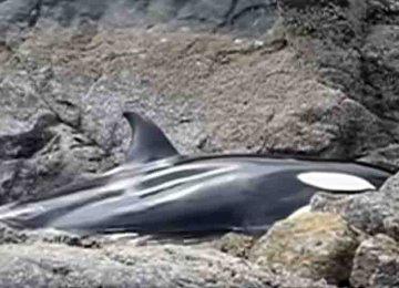 הוא שמע בכי של לוויתן אז הוא עשה את הדבר המקסים הזה לאחר שמצא אותו