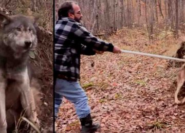 הציידים הללו הניחו את הנשק שלהם בכדי להציל זאב שנלכד במלכודת