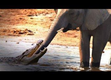 התנין הענקי הזה חשב שהצליח לתפוס ארוחה אבל הוא לא ציפה שזה יהיה פיל