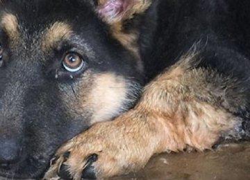 הכלב רועה גרמני היה בטוח שהוא ננטש על ידי בעליו – תראו מה קרה כשהוא פגש אותו לאחר 9 חודשים
