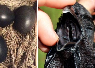 חקלאי מוצא ביצים שחורות מסתוריות – לא תאמינו מה בקעה מהן