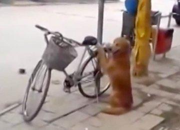 כלב עומד על המשמר מול האופניים – לא תאמינו מה הוא עושה כאשר הבעלים שלו חוזר