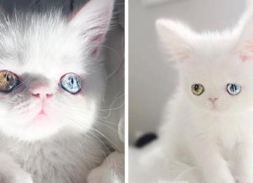 הכירו את פאם פאם החתול בעל הטרוכרומיה